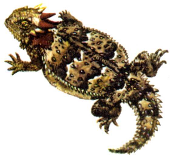Береговая жабовидная ящерица