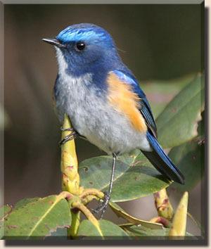 птица синехвостка