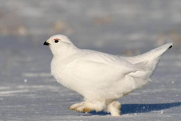 птица белая куропатка