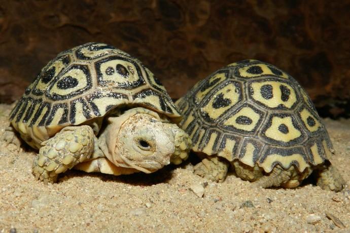 леопардовая черепаха