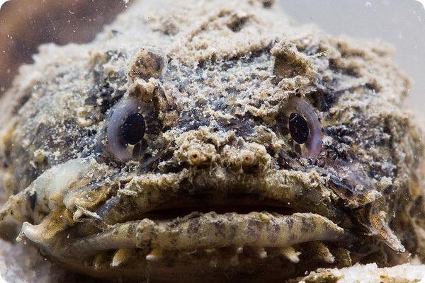 рыбы-жаба