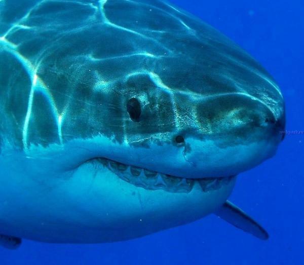 Акула-бык