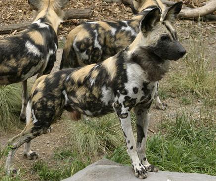 Фото гиеновидная собака