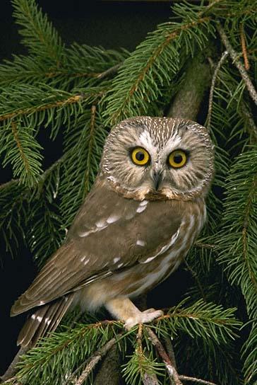 ночные хищные птицы фото