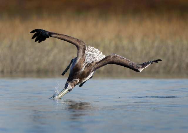 Бурый пеликан на охоте