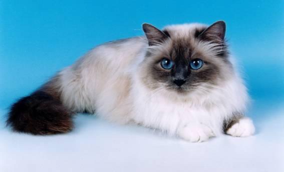 Порода Бирманская кошка