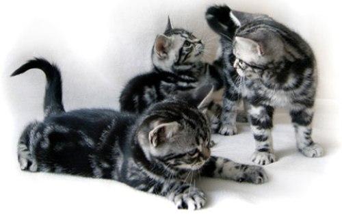 Порода Американская короткошерстная кошка