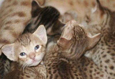 Котята породы Оцикет