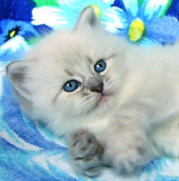 Котенок породы Невская маскарадная кошка