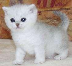 Котенок породы Японский Бобтейл