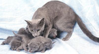 Русская голубая кошка с котятами