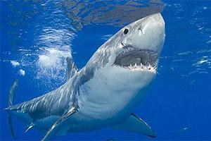 Белая акула (кархародон)