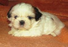 щенок породы Ши-тцу