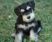 Шнауцер щенок фото