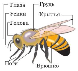 Строение насекомого