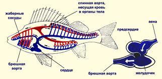 Кровеносная система рыбы