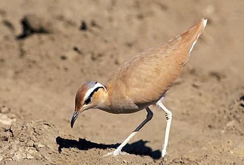 Птица Бегунок
