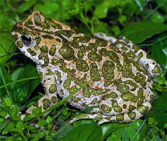 Колорадская речная жаба