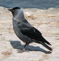 Птица Галка