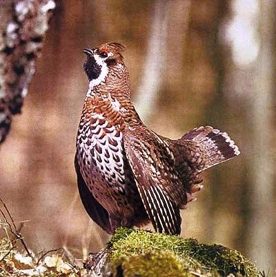 птица Рябчик