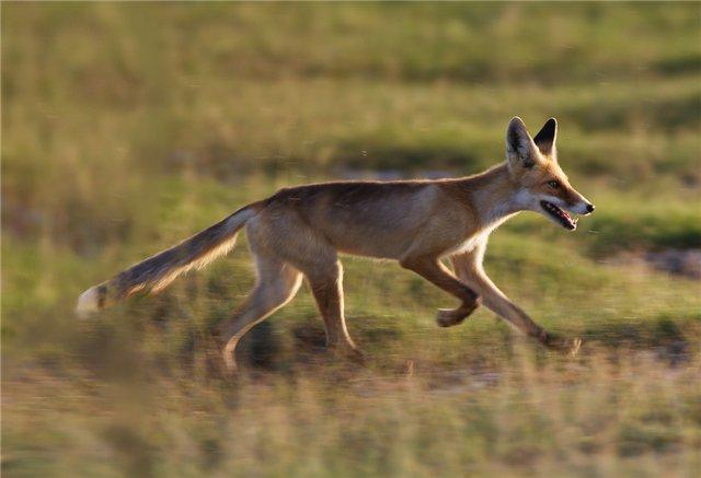 Степная лисица(корсак)