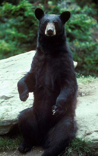 Барибал(Черный американский медведь)