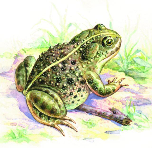 Камышовая жаба фото, Красная книга
