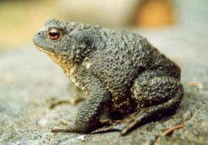 Серая (обыкновенная) жаба фото