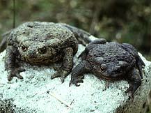 Серые жабы фото
