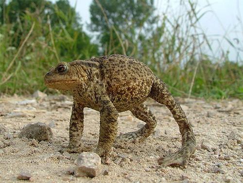 Серая(обыкновенная) жаба обороняется фото