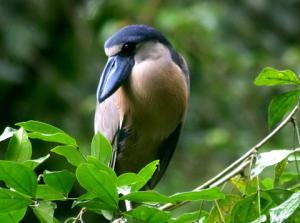 птица челноклюв фото
