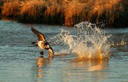 Птица морянка фото