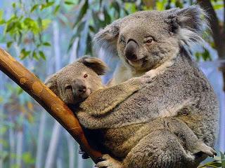медведь коала фото