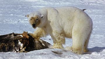 белый медведь на охоте фото