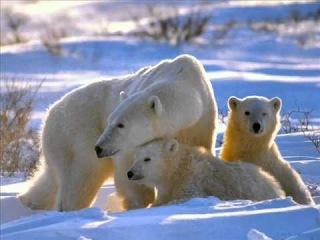 медведица с детенышами фото