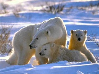 медвежата белого медведя фото