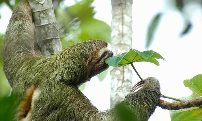 ленивец фото