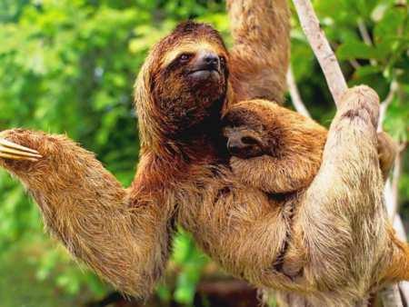ленивцы фото