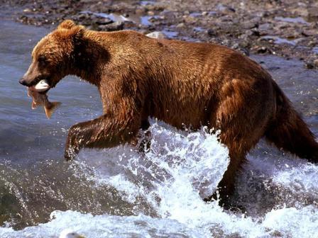 бурый медведт фото