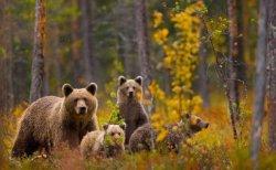 медведи бурые фото