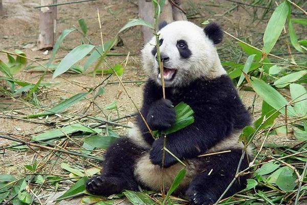 большая панда фото