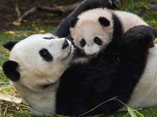 панды фото