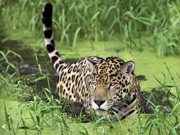 животное ягуар фото