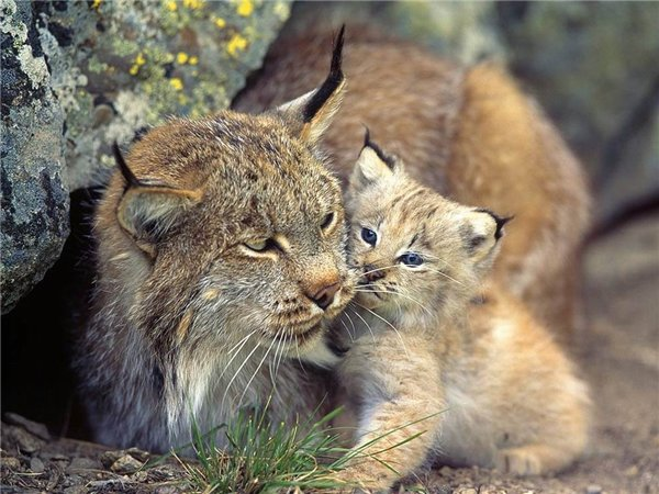 рысь с котенком фото