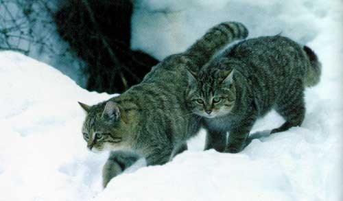 лесные коты фото