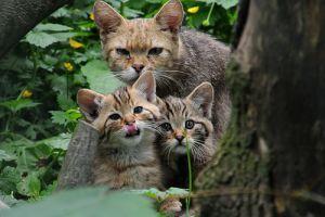 лесной кот с котятами фото