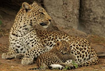 леопарды фото