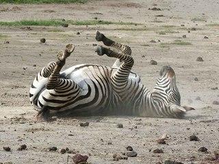 зебра животное фото