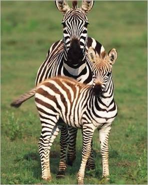 зебра с жеребенком фото