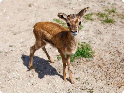 газель животное фото